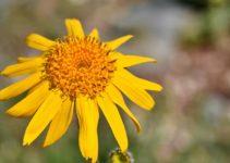Arnica-als-Blume